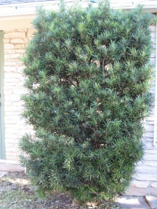 As much as i like this shrub, it's got to go. It attracts too many wasps and horseflies close to the house.
