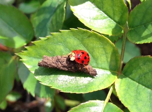 Sweet Little Ladybug On My Julia Child Rosebush.