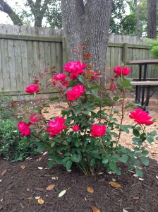 My Knockout Roses have been performing beautifully this season. I love seeing all the color!