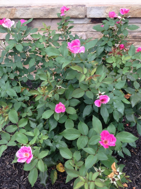Pink Roses at Hardy